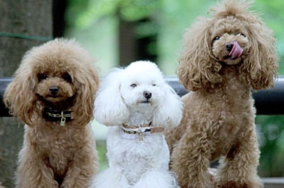 犬 トイプードル 仲良し